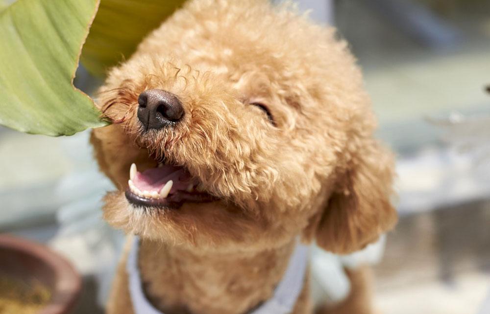 Perro de raza Poodle
