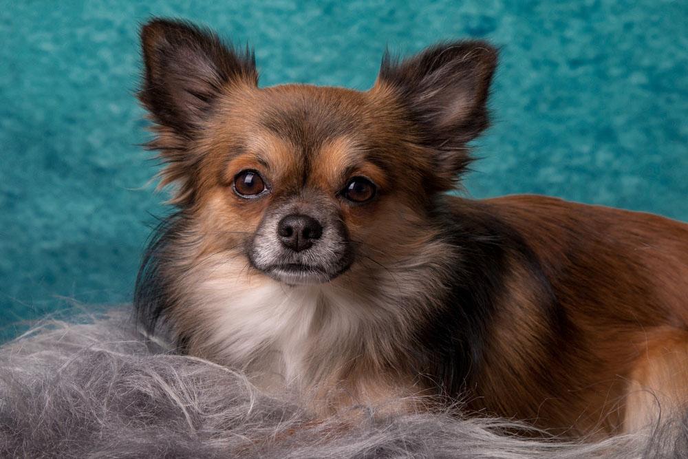 Perro de raza canina Chihuahua