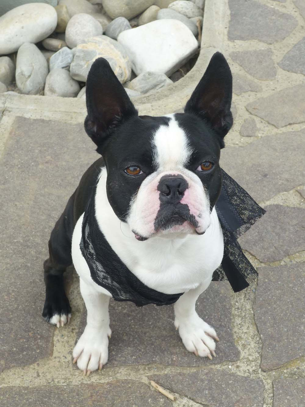 Perro de raza canina boston terrier