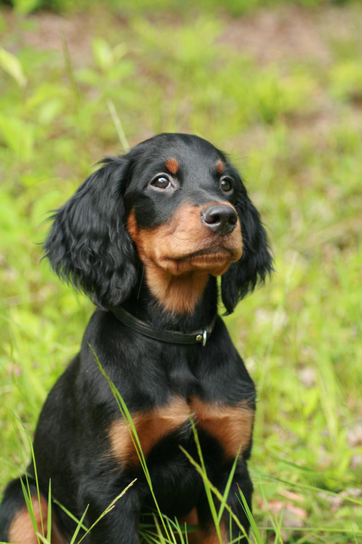 Los perros de raza Setter escocés pueden vivir entre 10 y 12 años