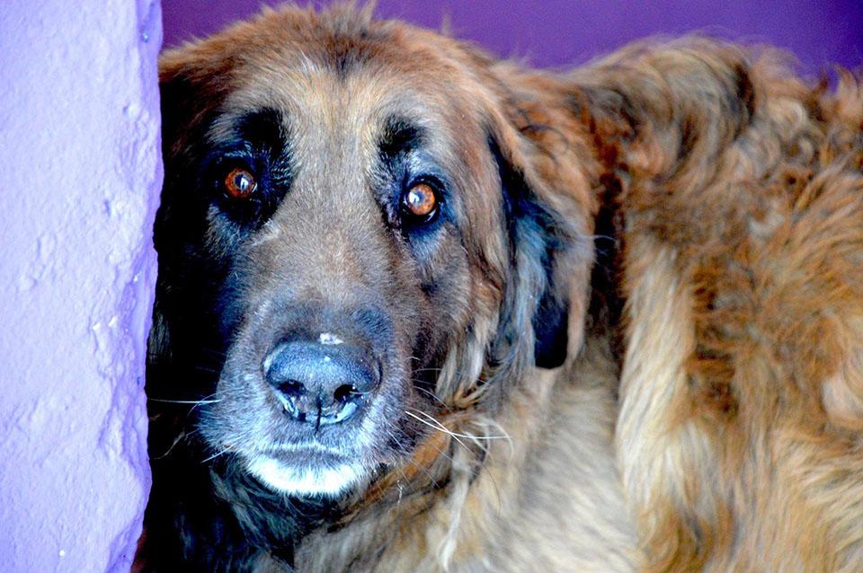 Perro encadenado 8 años