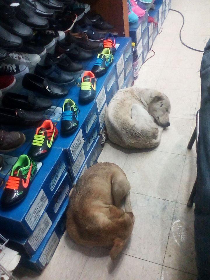 Perros en la zapatería