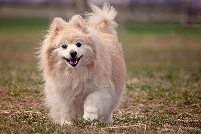 Perro Pomerania corriendo