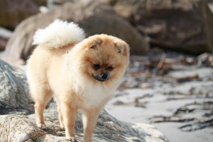 Perro de raza spitz enano sobre una roca