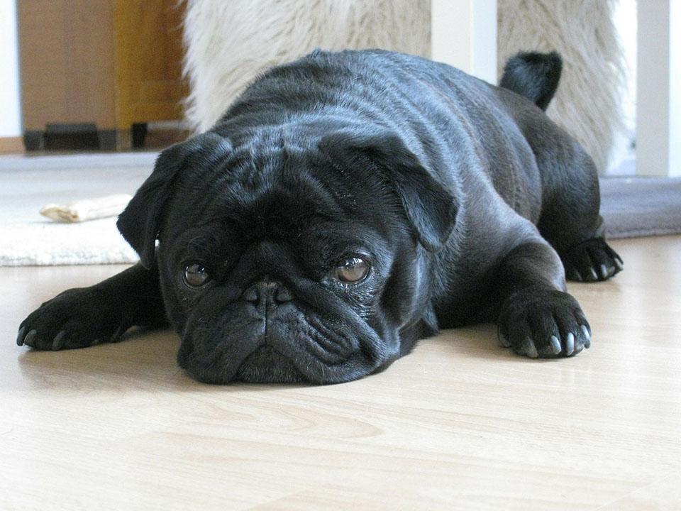 Pug negro