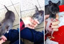 Rata gigante agarra dedo de su humano para mostrar a su bebe