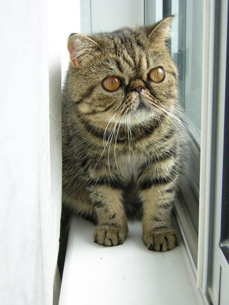 Raza felina gato exótico