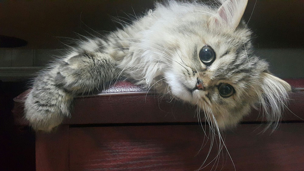 Razas de gatos - persa