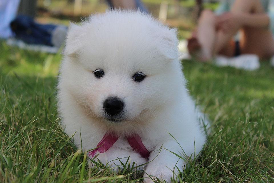 Samoyedo cachorro