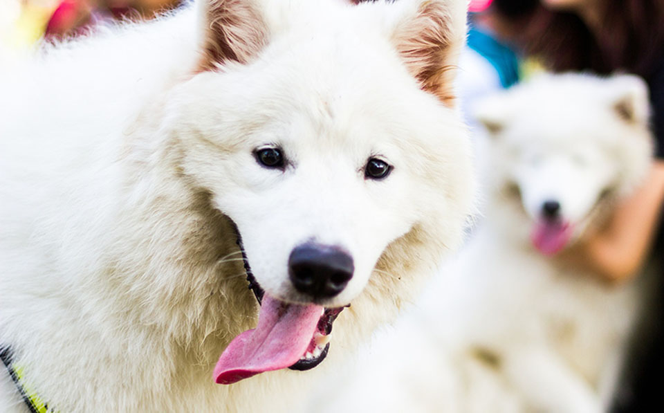 Samoyedo color crema