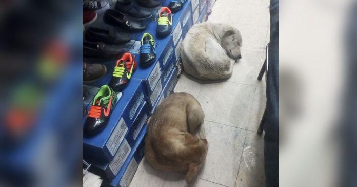 Zapatería permite que perros se resguarden del frio