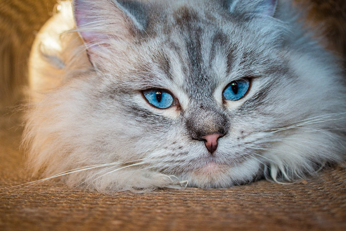 El gato siberiano