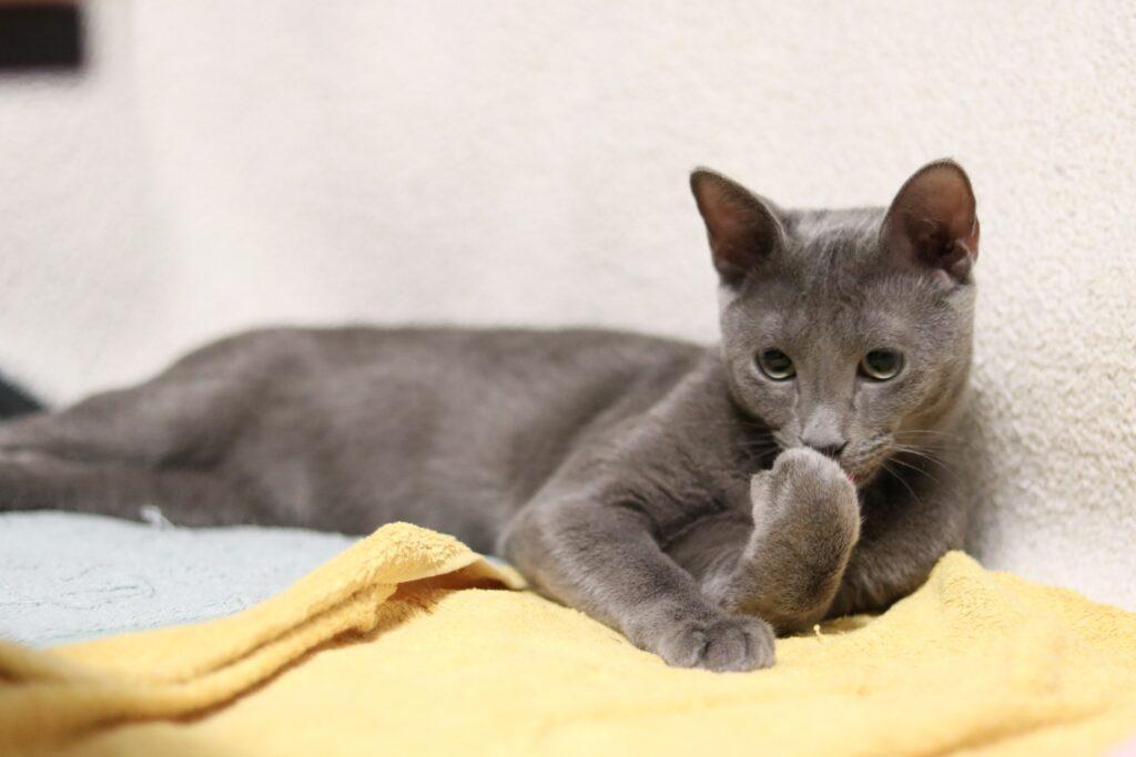 gato arcangel