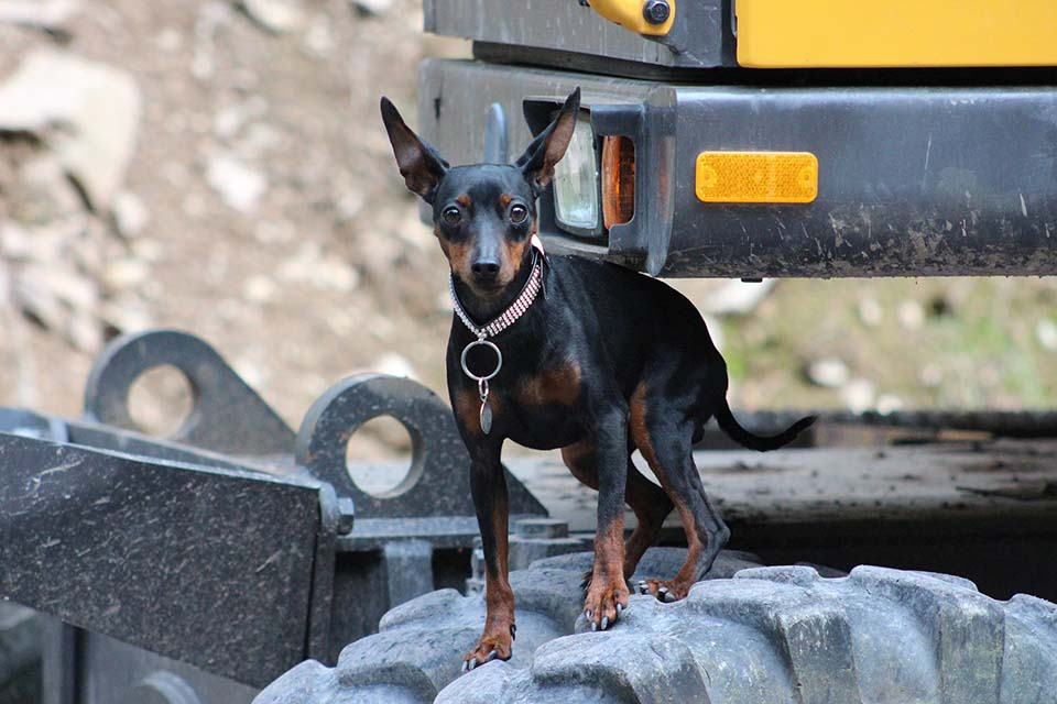 El pinscher miniatura es un excelente perro guardian y muy fiel a su familia.