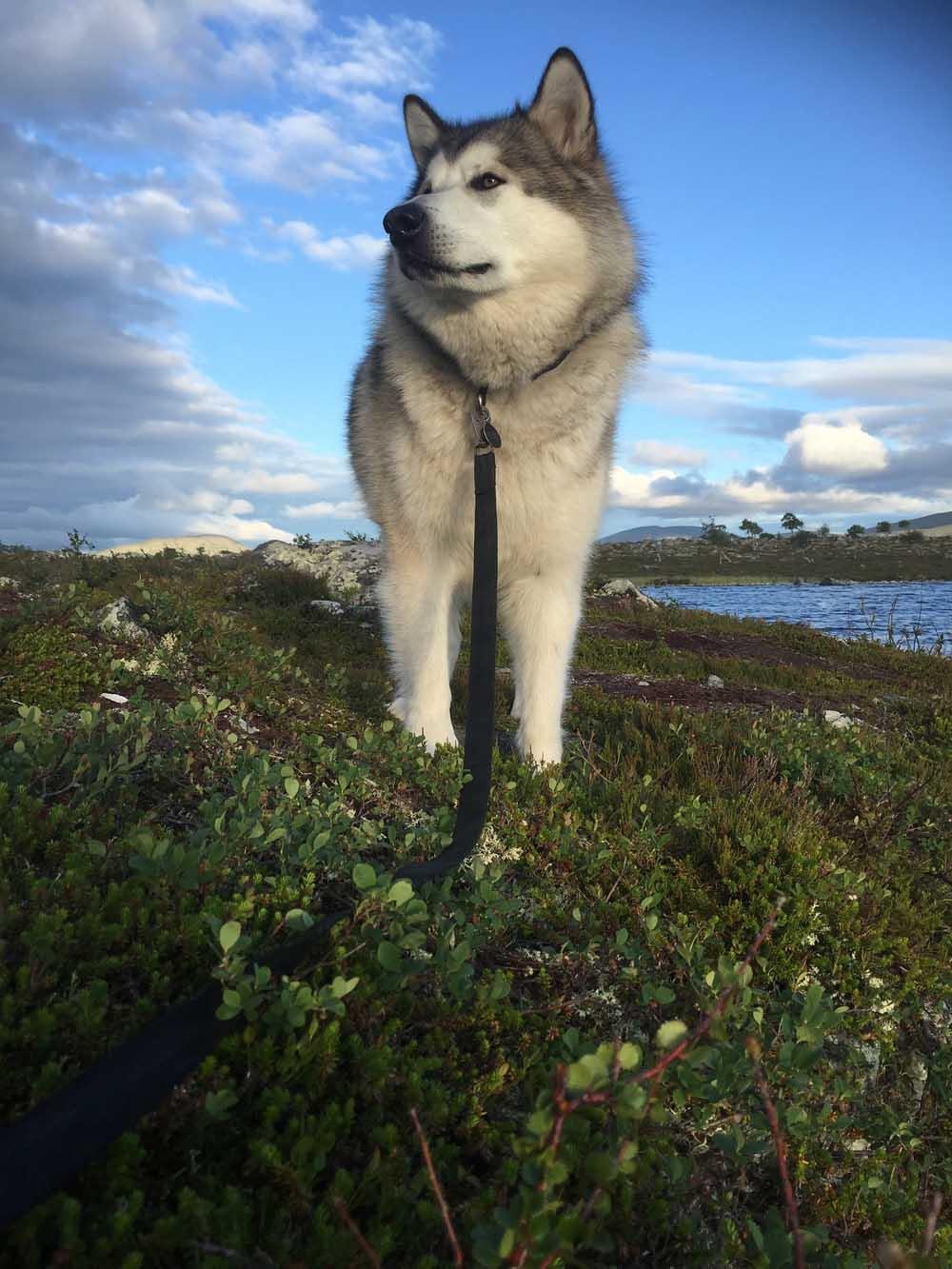 raza Alaskan Malamute