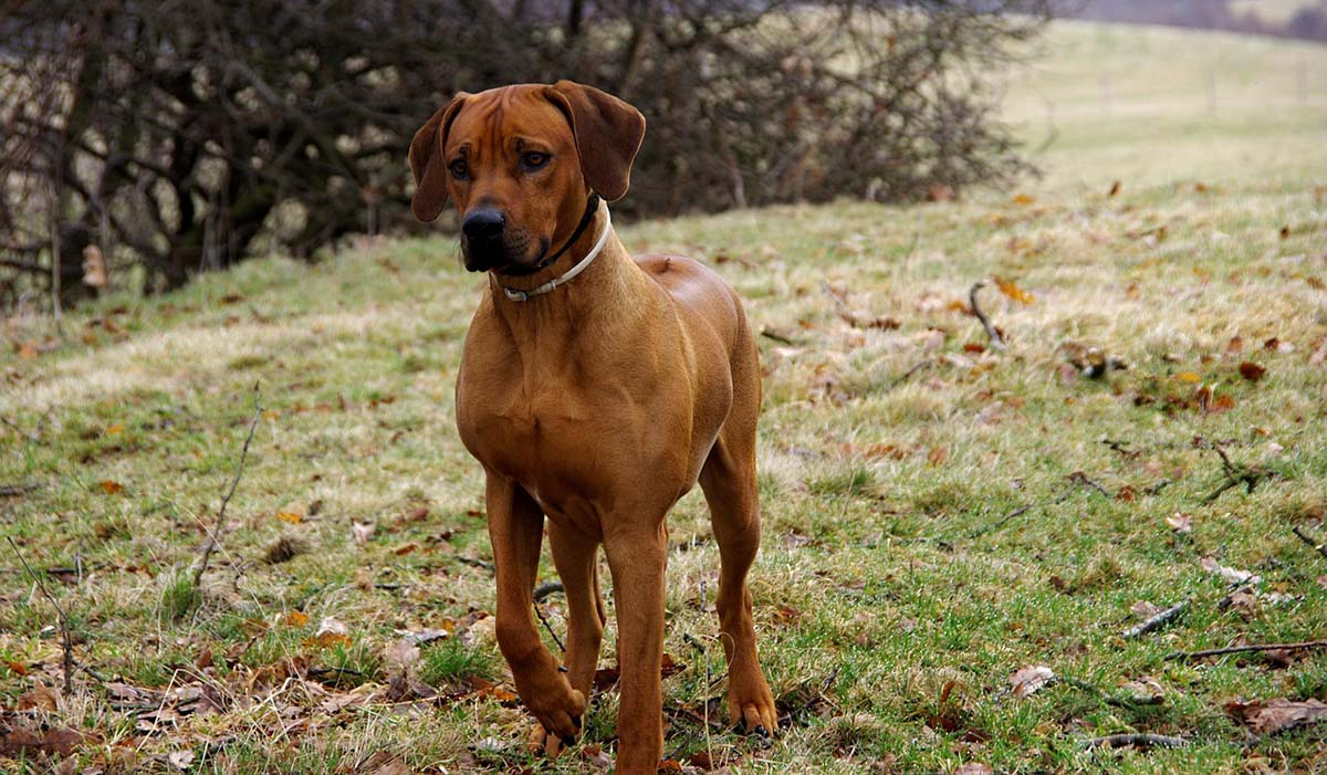 raza de perro rhodesian ridgeback