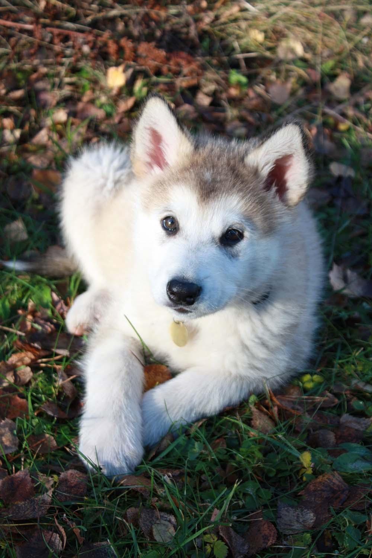 Alaskan Malamute cachorro