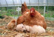 Amor maternal de las gallinas