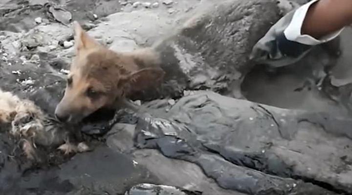 Cachorro atrapado en alquitrán