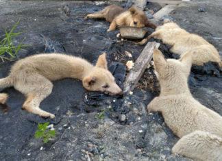 Cachorros atrapados en alquitrán fueron rescatados