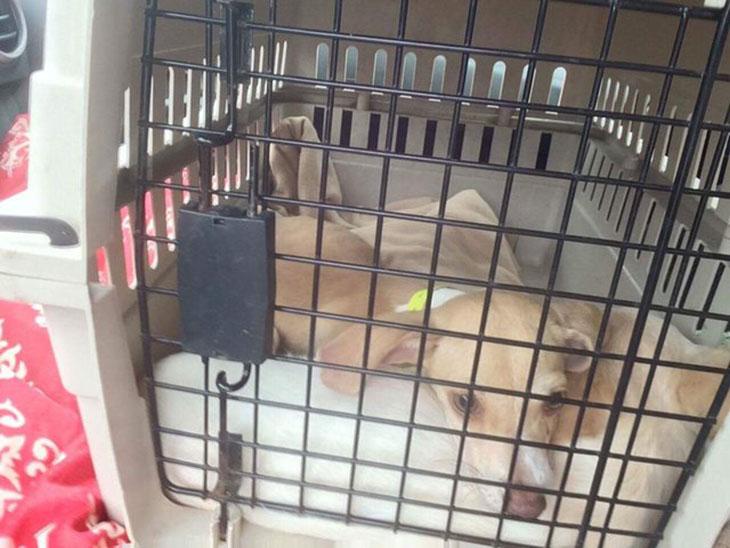 Cachorros rescatados del huracán Harvey