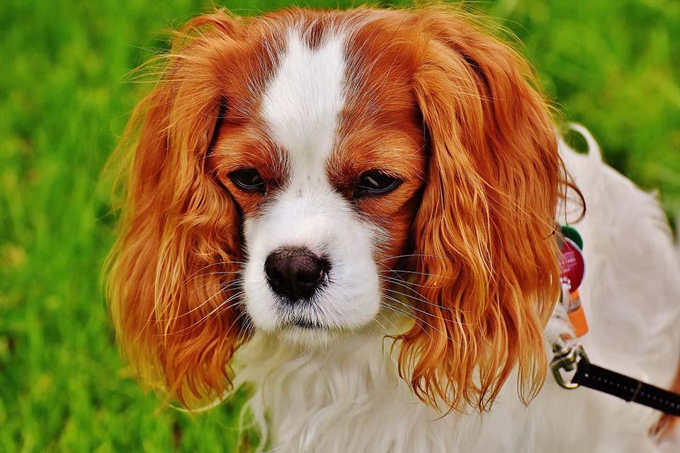 El Cavalier King Charles Spaniel debe ser llevado al veterinario constantemente para un chequeo médico general