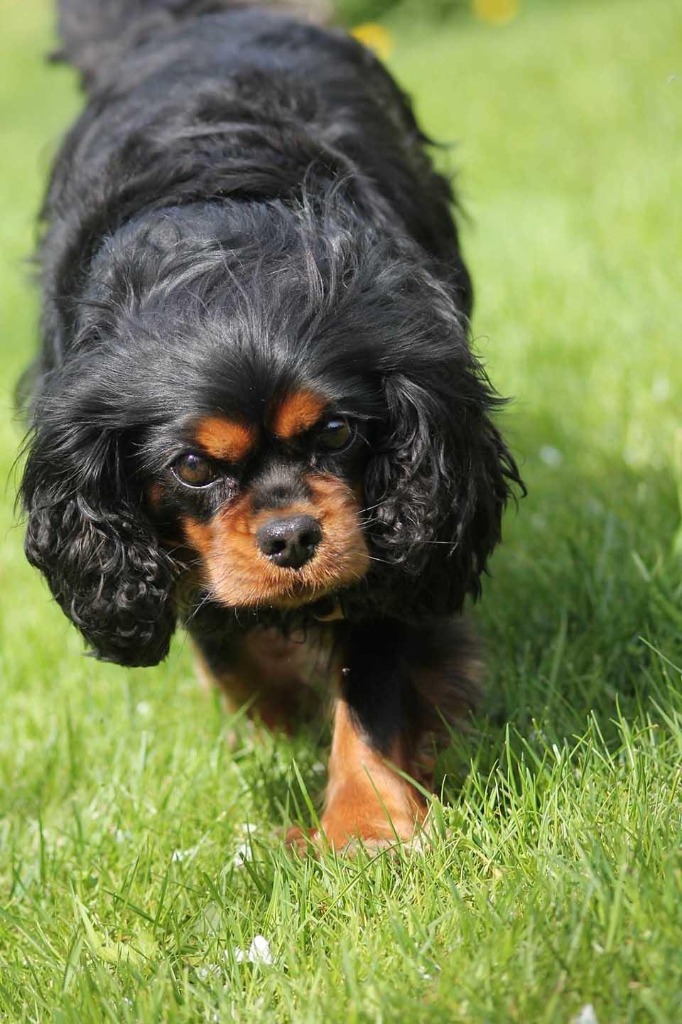 Cavalier King Charles cachorro