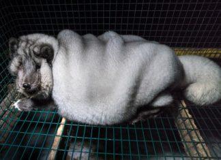 Crían zorros monstruos para poder vender mas pieles