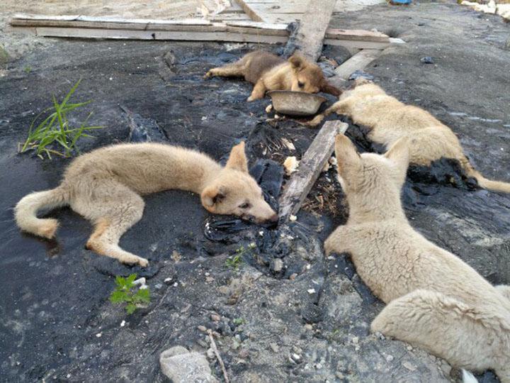 Cuatro cachorros atrapados en alquitrán