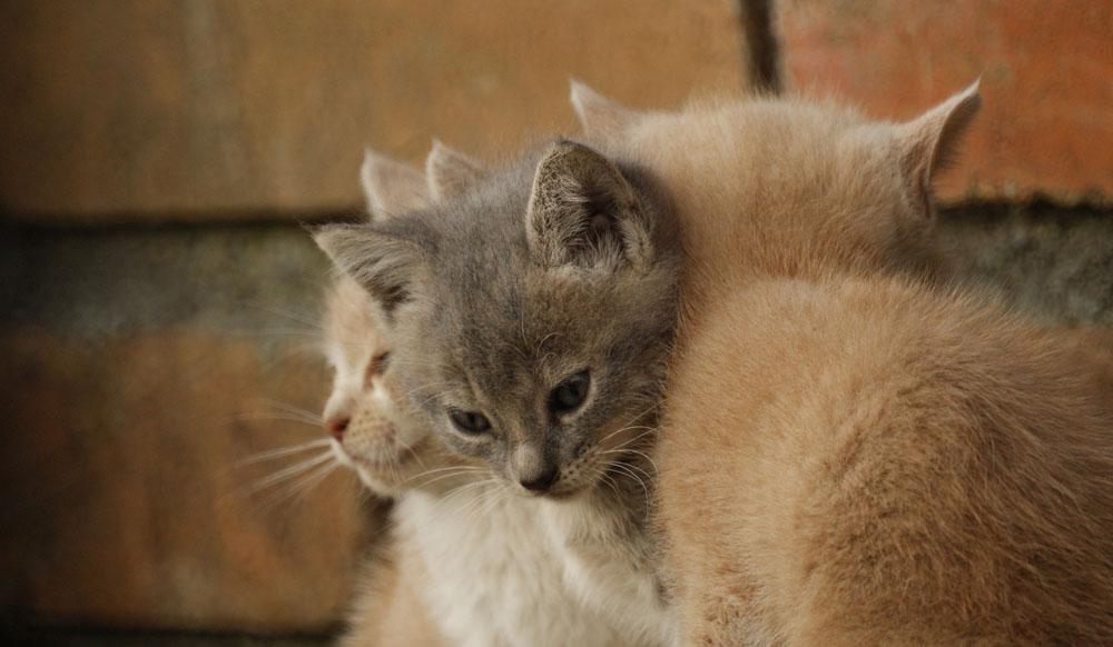 Emesis felina