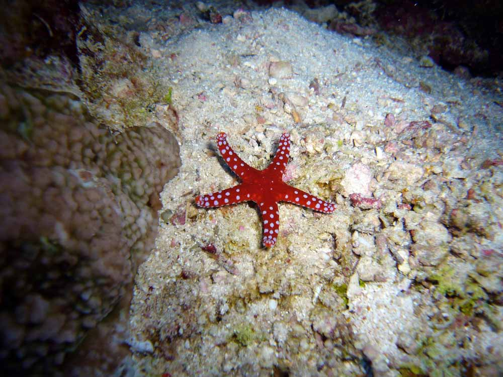 Estrella de mar - animales invertebrados