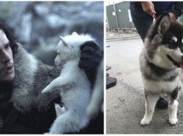 Fans de game of thrones compran huskies y los abandonan