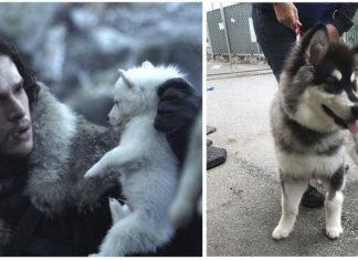 Fans de game of thrones compran huskies y los abandonan