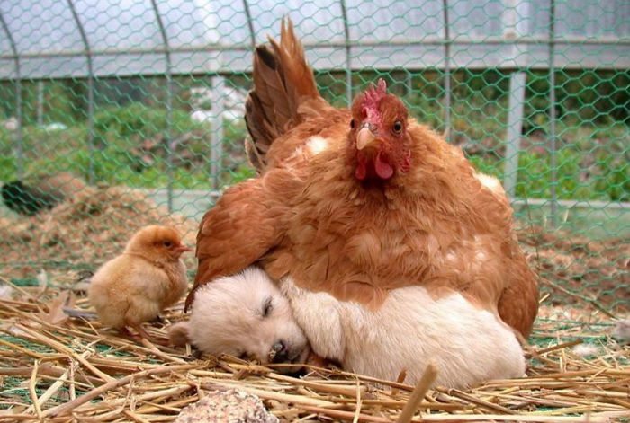 Gallina adopta a perrito