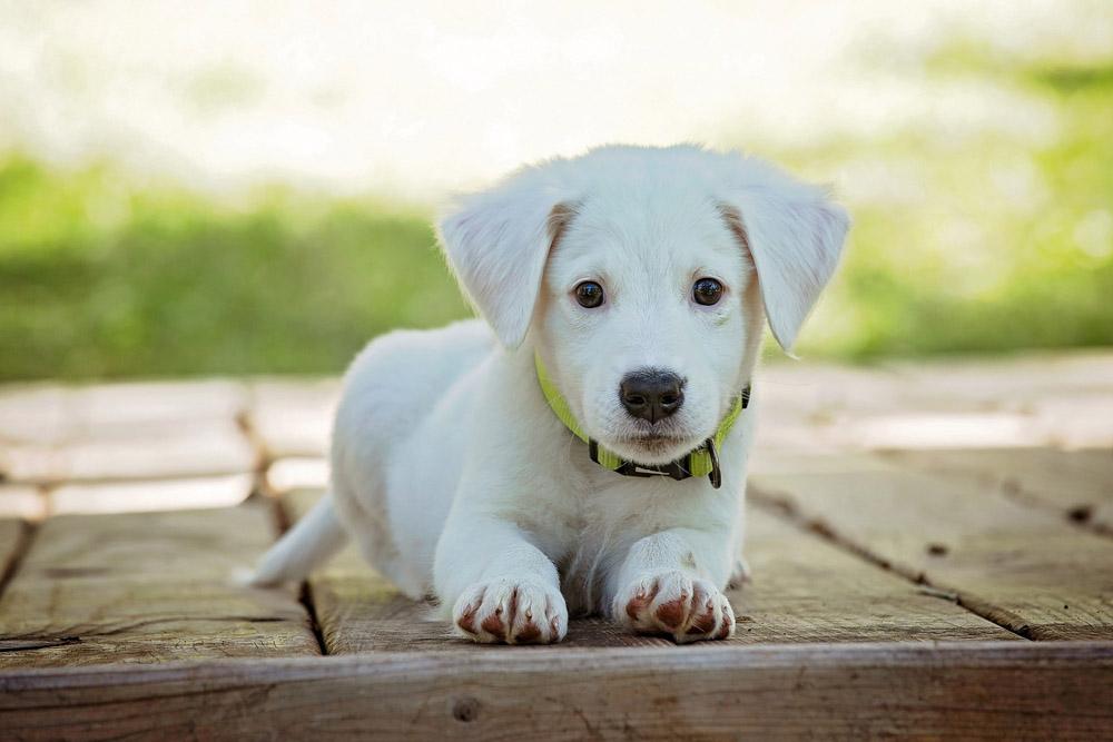 Gastroenteritis en cachorros