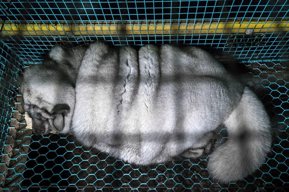 Granjas de piel crían zorros monstruosos