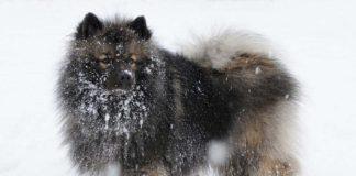 Keeshond o Wolfspitz