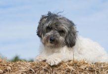 Lowchen o Pequeño perro león