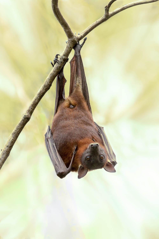 Murciélago | Mamíferos vertebrados