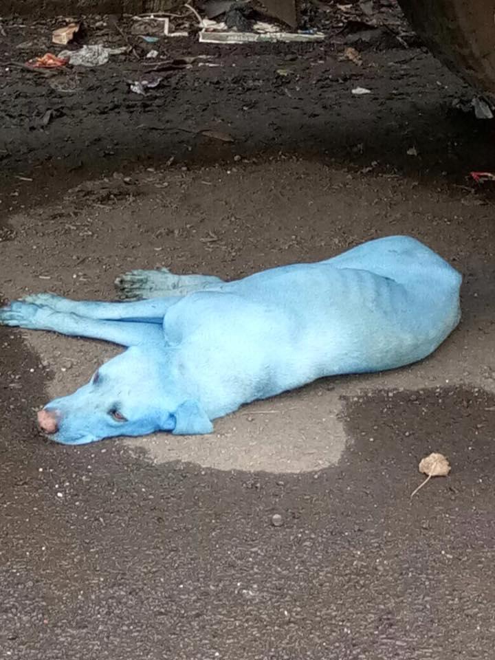 Perro de color azul