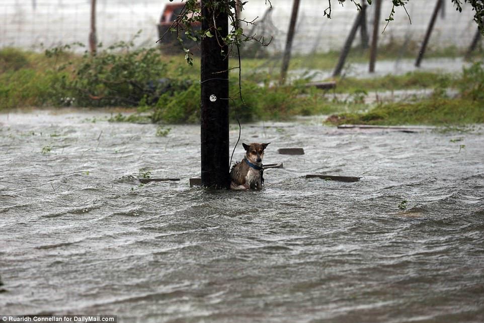 Perro encadenado en el huracán
