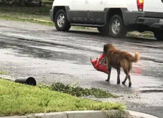 Perro lleva alimento después del huracán Harvey