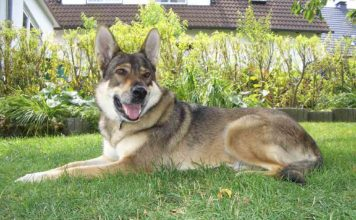 Perro lobo checoslovaco o wolfdog