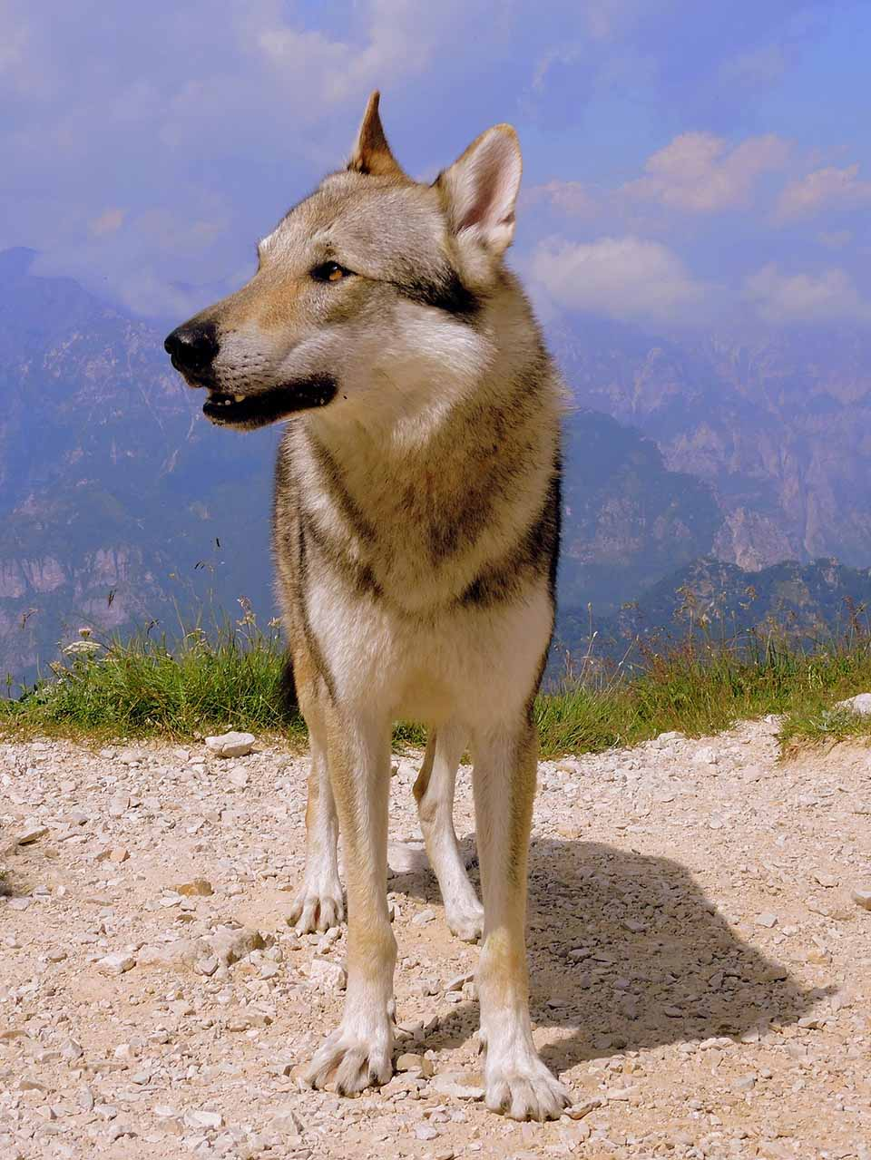 Perro lobo o wolfdog