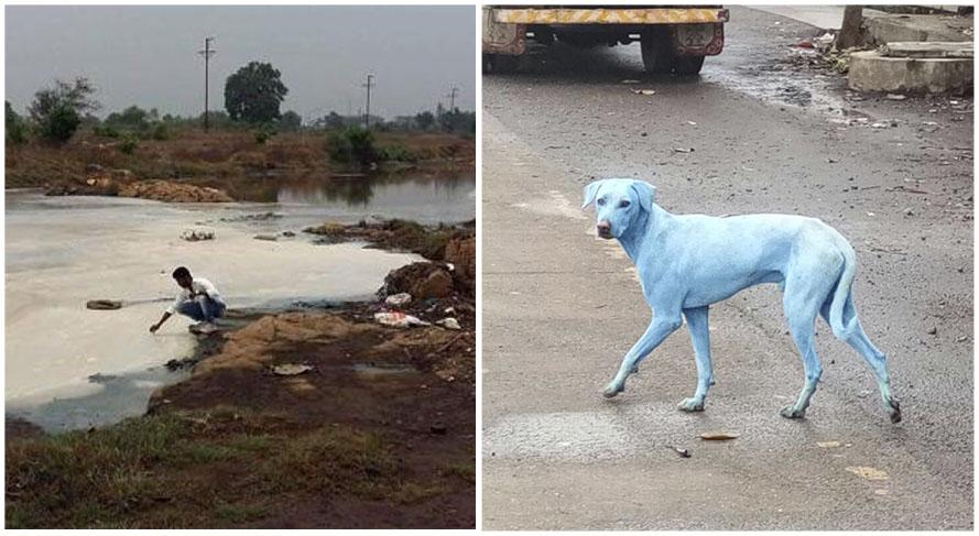 Perros en la India se están volviendo azules