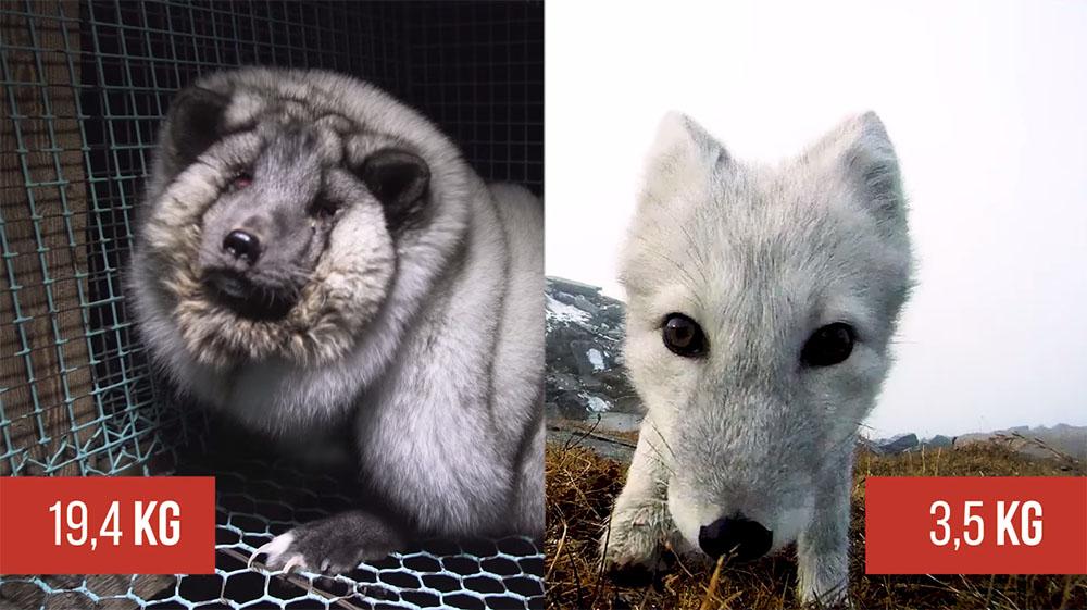 Peso normal de un zorro ártico