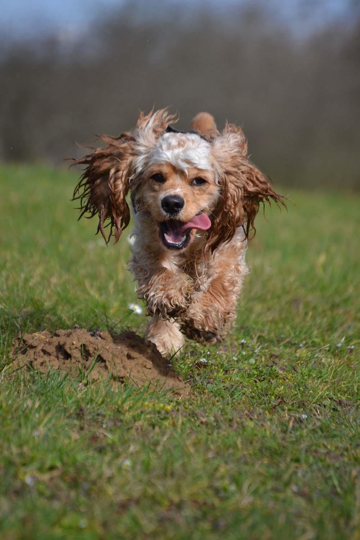Raza canina cocker spaniel americano
