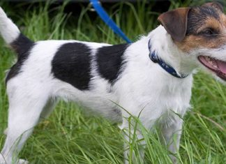 parson russell terrier o Parson Jack Russell