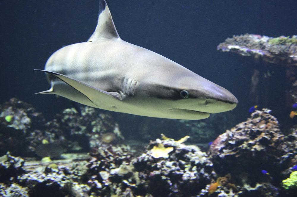 Tiburón | Peces vertebrados