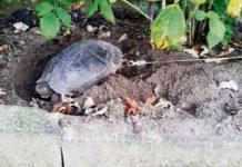 Tortuga encadenada de un agujero en su caparazón